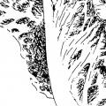 Lattich, Tusche auf Papier - 1994-2002